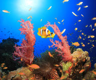 Coral Reef Scene with Clownfish Stock Photos