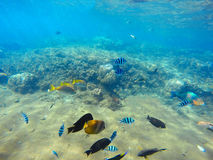 Coral reef scene with colorful tropical fishes. Blue sea water with sunlight rays. Snorkeling photo of sea bottom with corals and sea plants. Oceanic life Royalty Free Stock Images