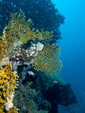 Coral reef scene with fish Royalty Free Stock Photos