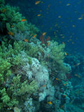 Coral reef scene with fish Stock Photography