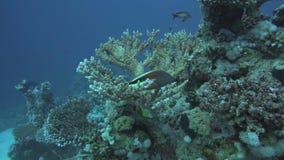 Coral Reef Scene met tropische vissen in Rode Overzees stock footage