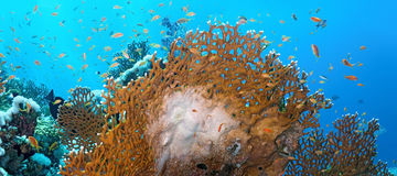 Coral reef scene - panorama Stock Photos