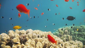 Coral Reef Scene with tropical fish in Red Sea stock video footage