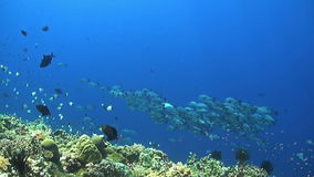 Coral reef with a school black snapper. Triggerfish, Anthias and Butterflyfish stock video footage