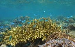 Coral reef school of fish New Caledonia Oceania. Shallow coral reef with a school of fish, mostly blue-green chromis, Chromis viridis, underwater in the lagoon stock image