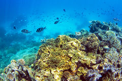 Coral Reef with school of fish. Swimming with the current Royalty Free Stock Images