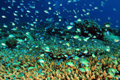 Coral Reef. School of Small Fish over Hard Coral Reef, South Ari Atoll, Maldives Stock Image