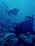 coral reef scuba diver philippines Stock Image