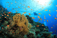 Coral Reef and Scuba Divers Royalty Free Stock Photography