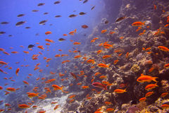 Coral reef with sea goldies Stock Images