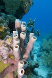 Coral reef with sea sponge Royalty Free Stock Photo