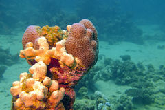 Coral reef with sea sponge in tropical sea - underwater Royalty Free Stock Images