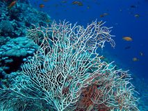 Coral reef with sea whip Royalty Free Stock Photos
