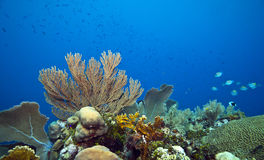 Coral reef seageat major fish Stock Image
