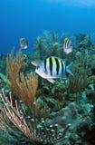Coral reef Sergeant Major (Abudefduf saxatilis) Stock Image