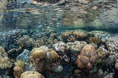 Coral Reef in Shallows of Tropical Pacific Ocean Royalty Free Stock Image