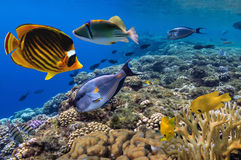 Coral reef with shard corals with exotic fishes Royalty Free Stock Images