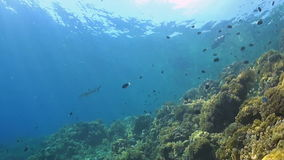 Coral reef with shark and trevallies. Coral reef with soft corals, shark and trevallies. Filmed upwards stock footage
