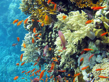 Coral reef with shoal of  anthias in tropical sea Stock Image