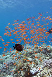 Coral reef with shoal of fishes scalefin anthias ,underwater Royalty Free Stock Image
