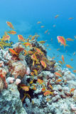 Coral reef with shoal of fishes scalefin anthias, underwater Royalty Free Stock Photography