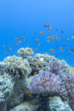Coral reef with shoal of fishes scalefin anthias, underwater Stock Image