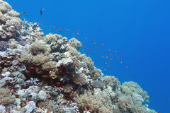 Coral reef with shoal of fishes scalefin anthias, underwater Royalty Free Stock Image