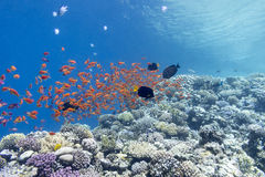 Coral reef with shoal of fishes scalefin anthias, underwater Royalty Free Stock Photos