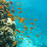 Coral reef with shoal of fishes scalefin anthias, underwater. Colorful coral reef with shoal of fishes scalefin anthias in tropical sea stock images