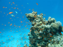 Coral reef with shoal of fishes scalefin anthias, underwater Stock Images