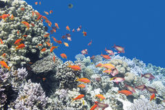 Coral reef with shoal of fishes scalefin anthias, underwater Stock Photography