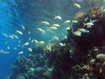 Coral reef and shoal of fishes in tropical sea Royalty Free Stock Photography