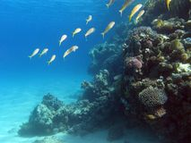Coral reef with shoal of goatfishes at the bottom of tropical sea Royalty Free Stock Photography