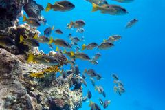 Coral reef with shoal of goatfishes at the bottom of tropical sea Stock Images