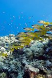 Coral reef with shoal of goatfishes at the bottom of tropical sea Royalty Free Stock Images