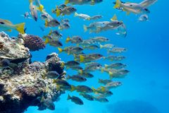 Coral reef with shoal of goatfishes at the bottom of tropical  sea Royalty Free Stock Image