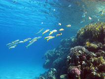 Coral reef with shoal of goatfishes and hard corals at the bottom of tropical sea Stock Photography