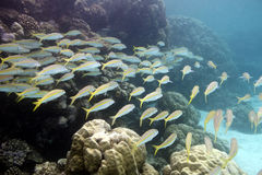 Coral reef with shoal of goatfishes and hard corals at the bottom of tropical sea Stock Photos