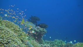 Coral reef with Snapper, Unicornfish and Anthias stock video