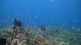 Coral reef with Snapper, Unicornfish and Anthias stock video footage