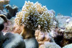 Coral reef with soft coral Royalty Free Stock Images
