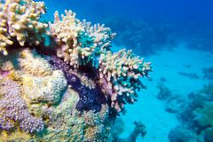 Coral reef with soft coral at the bottom of tropical sea Royalty Free Stock Photo