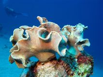 Coral reef with soft coral and diver Royalty Free Stock Photos