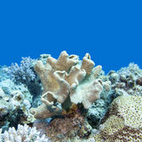 Coral reef with soft coral in tropical sea, underwater Stock Image