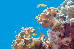 Coral reef with soft corals and exotic fishes - underwater             Stock Photos