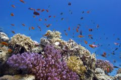 Coral reef with soft and hard corals on the bottom of red sea  in egypt Stock Photo