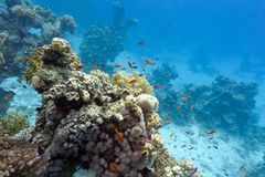 Coral reef with soft and hard corals at the bottom of tropical sea on blue water background Royalty Free Stock Photos