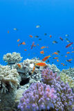 Coral reef with soft and hard corals with exotic fishes anthias on the bottom of tropical sea. On blue water background royalty free stock image