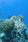Coral reef with soft and hard corals with exotic fishes anthias Stock Photography