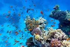 Coral reef with soft and hard corals with exotic fishes anthias on the bottom of tropical sea  on blue water background. Coral reef with soft and hard corals Stock Photo